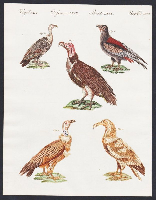 1800 - lappet faced vulture bateleur Geier engraving antique print Bertuch 0