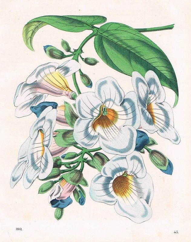 1861 Thunbergien Thunbergia Himmelsblumen Blume flower Lithographie lithography