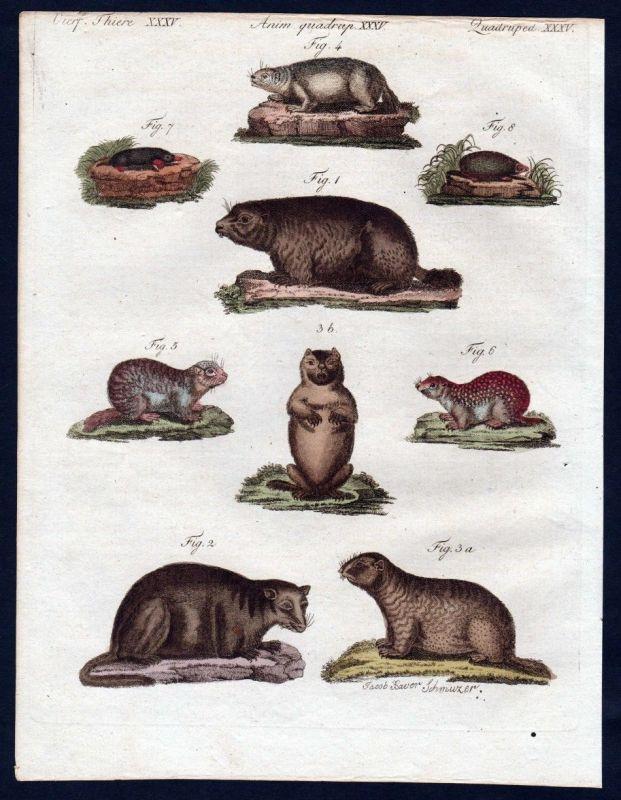1806 - Murmeltier Maulwurf Ziesel marmot mole Kupferstich engraving Bertuch 0