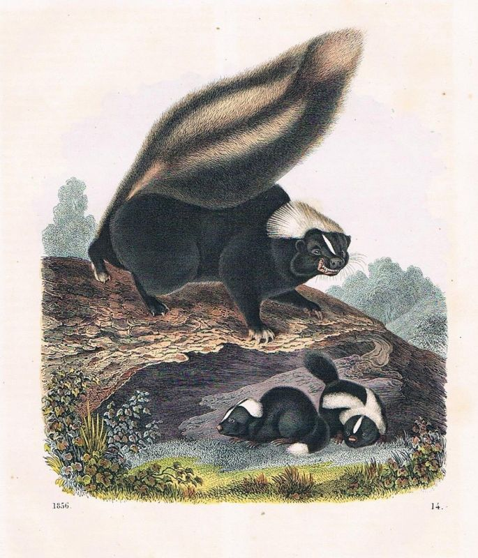 1856 - Stinktier Familie skunk Amerika America Lithographie lithography 0