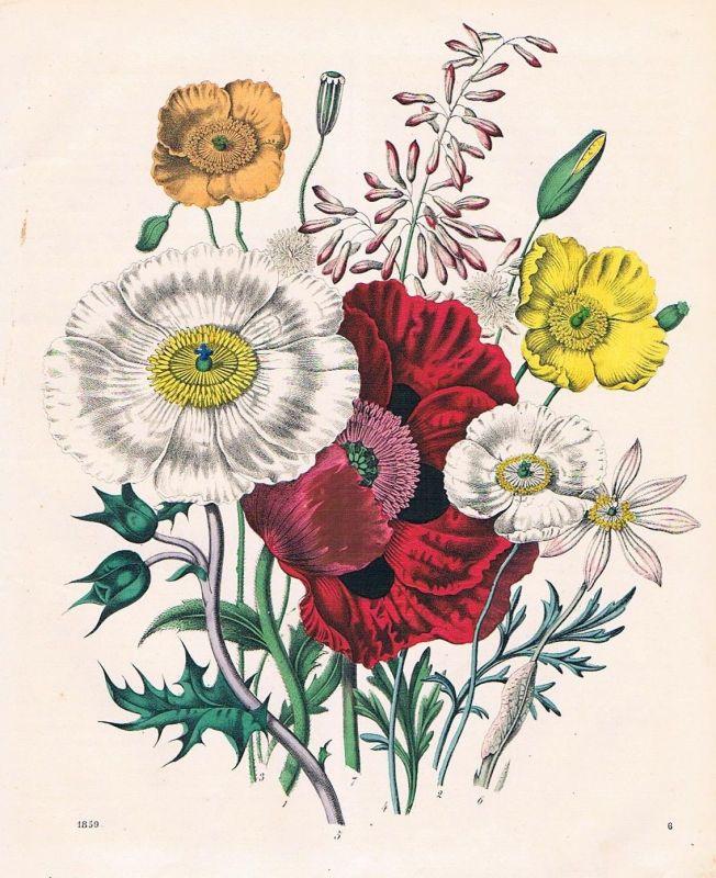 1859 - Mohn Klatschmohn poppy Blume flower Pflanze Lithographie lithograph