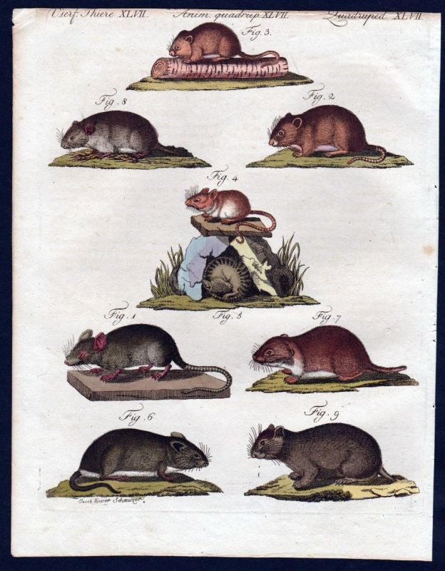 1806 - Maus Feldmaus Zwergmaus mouse Kupferstich engraving Bertuch 0
