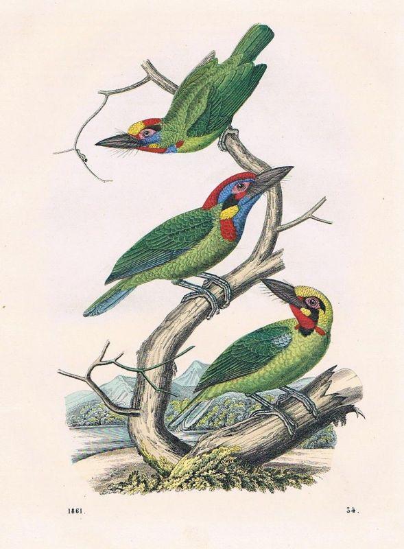1861 - Bartvogel Specht Vögel Vogel bird birds Lithographie lithography 0
