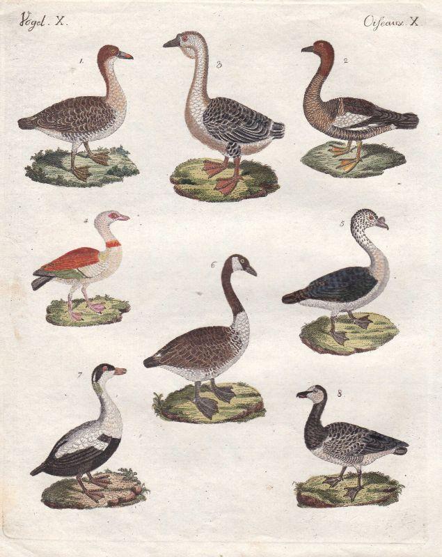Gans goose Eiderente common eider Ente duck Vögel birds Vogel bird Bertuch 1800