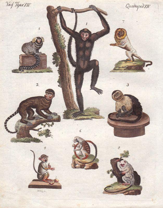Totenkopfaffen squirrel monkey Affe Affen monkeys Primat primate Bertuch 1800