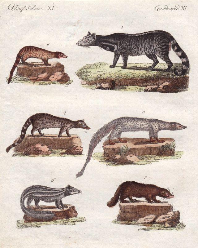 Civet Zibet skunks Stinktiere mephitidae Mangusten mongoose Bertuch 1800 0