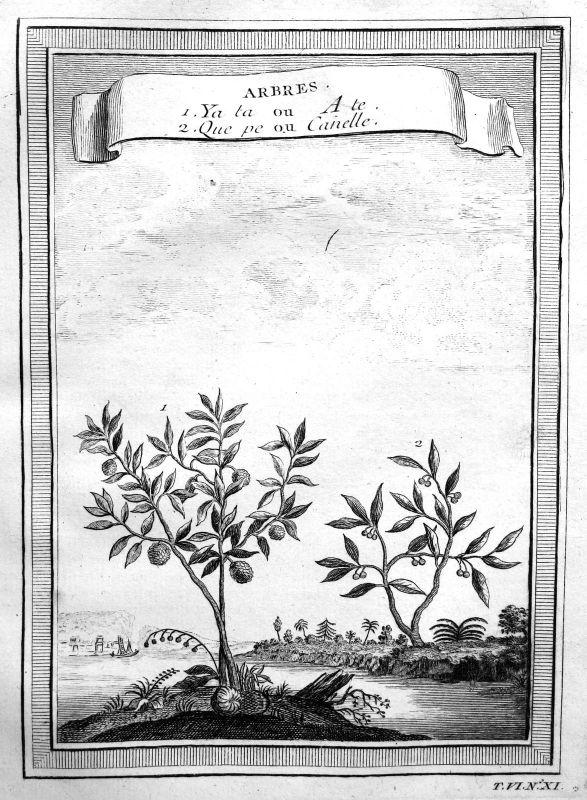 Ca. 1750 Zimt Zimtbaum cinnamon Botanik botany China Kupferstich antique print 0
