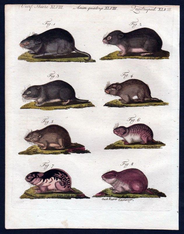 1806 - Mäuse Maus Lemming mouse Kupferstich engraving Bertuch 0