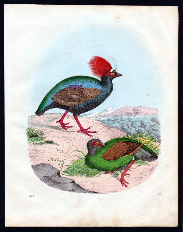 1858 Hoatzin Schopfhuhn Vogel Vögel bird birds Lithographie lithograph
