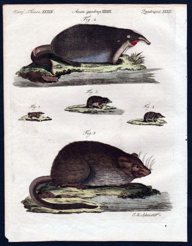 1806 - Bisamratte Ratte Spitzmaus Maus muskrat Kupferstich engraving Bertuch 0