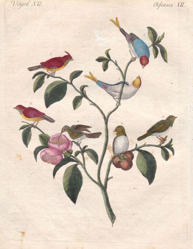 Sperlinge sparrow China Asia Asien Vögel birds Vogel bird Bertuch 1800 0