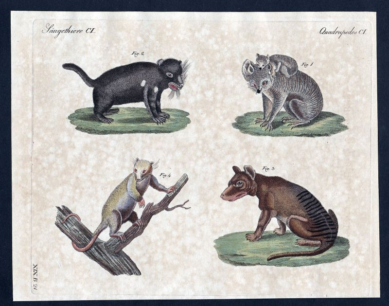 1800 Koala koala Beuteltier marsupial Kupferstich Bertuch antique print