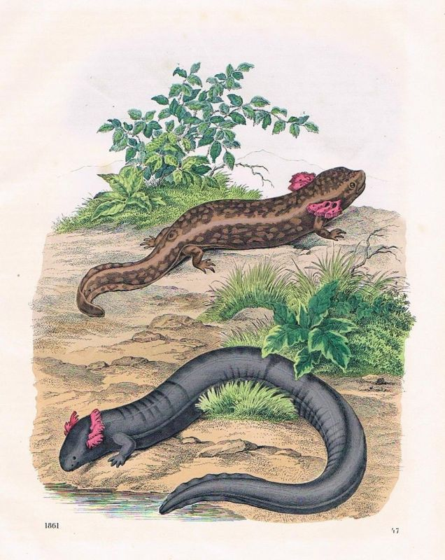 1861 - Axolotl Schwanzlurch Reptil Reptilien Lithographie lithography