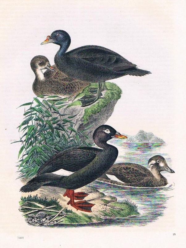 1861 - Trauerente Enten Ente duck Vogel Vögel Lithographie lithography