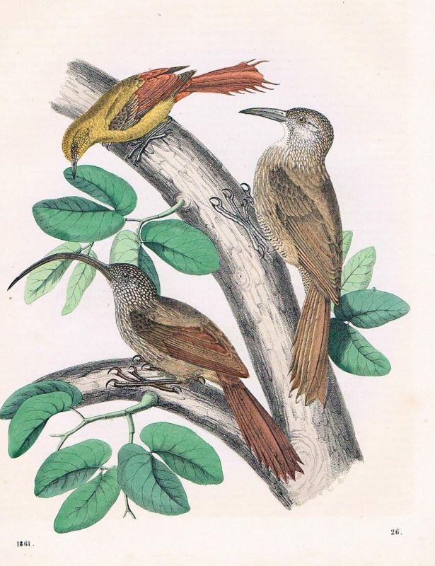 1861 - Baumhacker Vögel Vogel bird birds Lithographie lithography