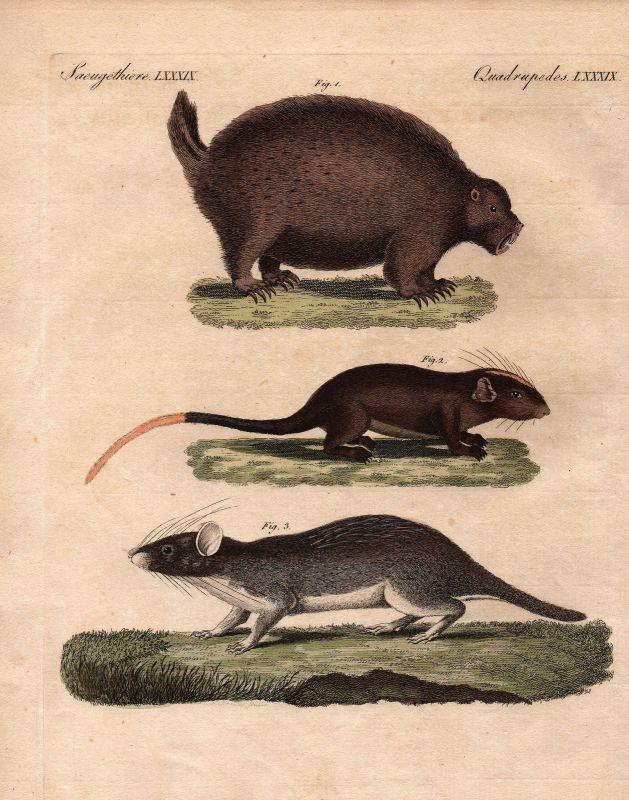 Stachelschwein porcupine Nagetiere rodent Ratte rat Maus mouse Bertuch 1800