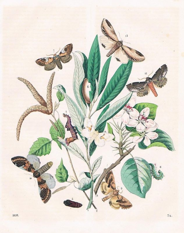 1856 - Schmetterlinge Schmetterling butterfly Raupe Lithographie lithography