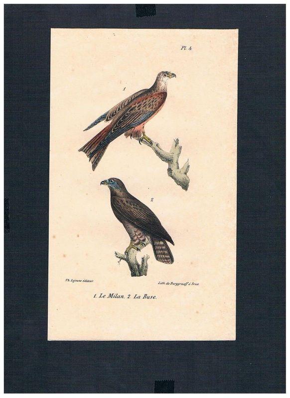 1830 - Bussarde Buteo Hawks Vogel Vögel bird birds Lithographie Lithograph