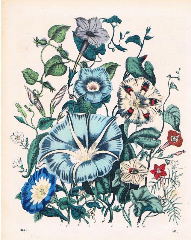 1859 - Winden Windengewächs Convolvulaceae Blume flower Lithographie lithograph