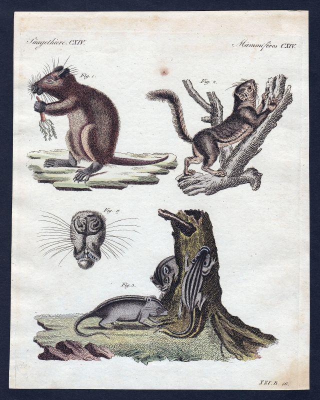 1800 Murmeltier marmot Ratte rat Ratten rats Säugetier Kupferstich Bertuch