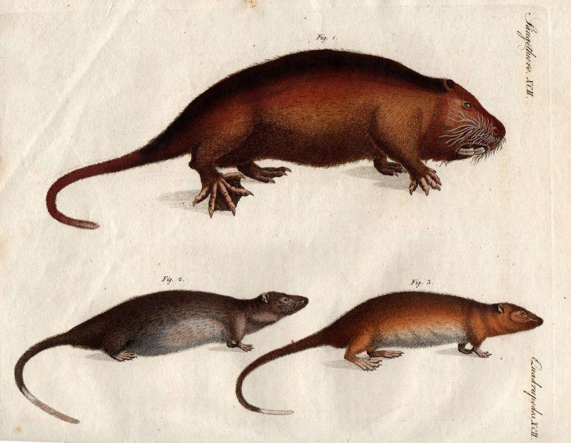 Wasserratte Ratte water rat Wassermaus Maus mouse Nagetier rodent Bertuch 1800