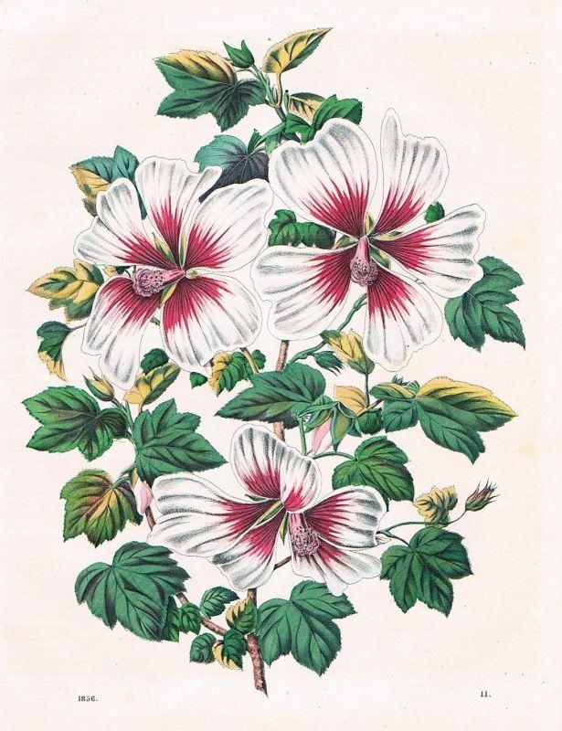 1856 - Malve Malven Malvengewächse Blumen flowers Lithographie lithography