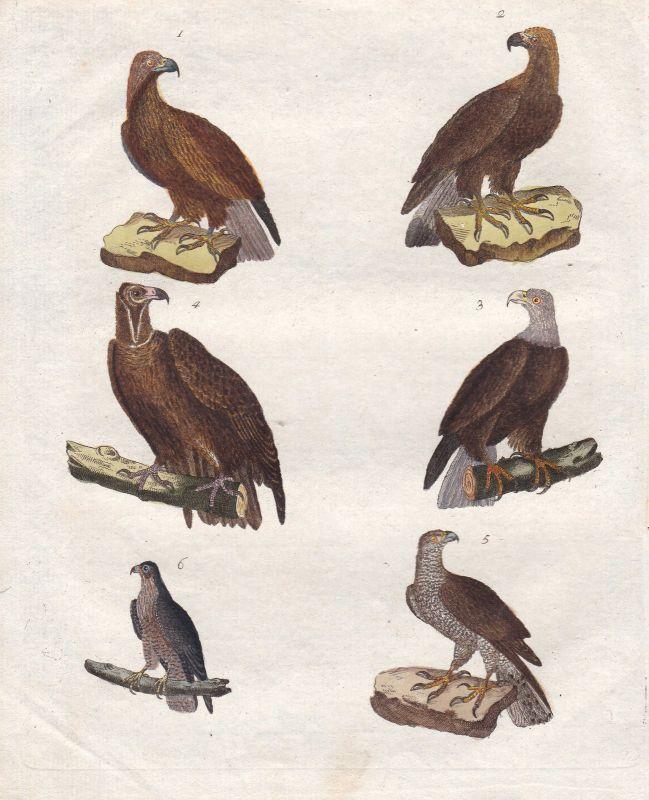 Adler eagle Falke hawk Geier vulture Habicht Vogel bird Vögel Bertuch 1800