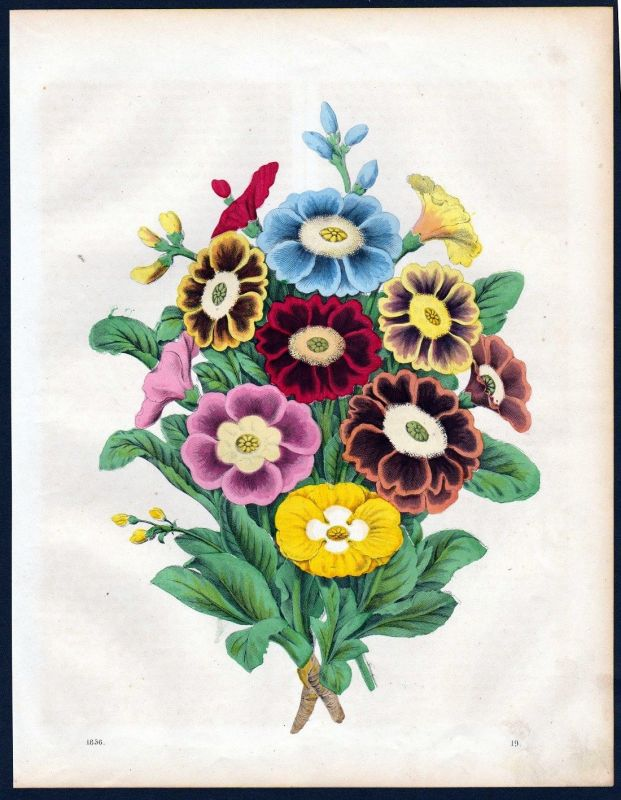 1856 - Aurikeln Blumen Blume folowers flower Lithographie lithograph