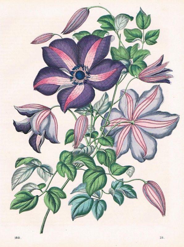1861 - Waldrebe Klematis Blumen Blume flower Lithographie lithography