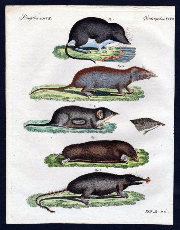 1806 - Spitzmaus Maus mouse Kupferstich engraving Bertuch