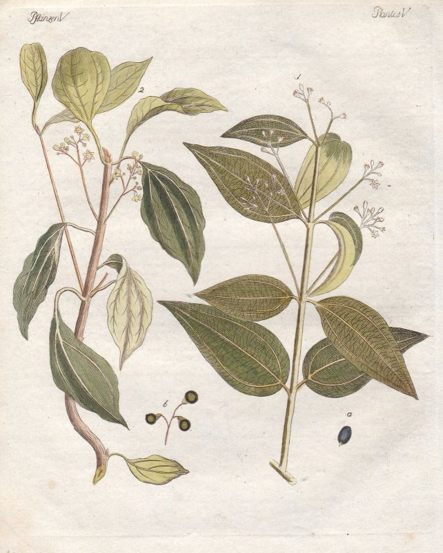 Baum tree Kampferbaum camphor tree Pflanze plant Pflanzen plants Bertuch 1800