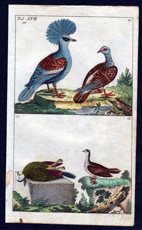 1800 Taube Krontaube crowned pigeon bird Vogel Vögel birds Kupferstich engraving