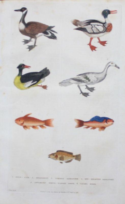 1780 - Goldfisch Fisch fish Goose gans Vogel bird animals engraving Kupferstich