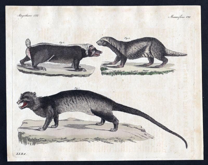 1800 Stinktier skunk Stinktiere skunks Säugetier Kupferstich Bertuch