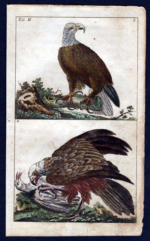 1800 Bachstelze wagtail Vogel Vögel bird birds Kupferstich engraving