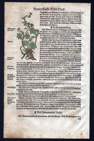 Zaunrüben Holzschnitt Kräuterbuch Kräuter herbal Lonicer, Adam: