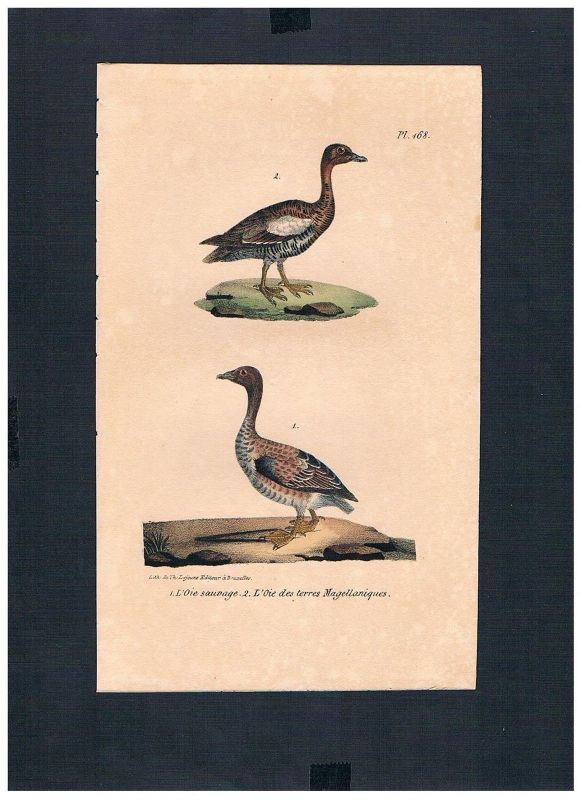 1830 - Gans Gänse goose geese Vogel Vögel bird birds Lithographie Lithograph