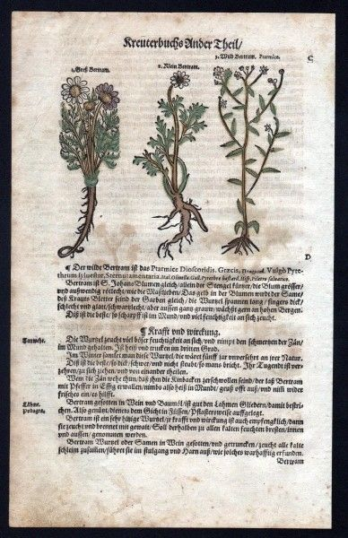 Bertram / Pyrethrum Holzschnitt Kräuterbuch Kräuter herbal Lonicer Lonicer, Adam