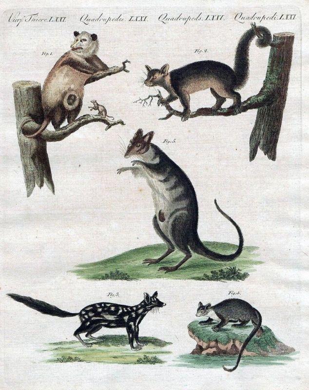 1800 - Marder Wiesel Ratten Kupferstich Bertuch
