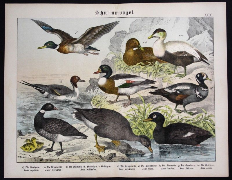 1890 - Gans Ente Enten duck birds Vögel Lithographie Schreiber antique print