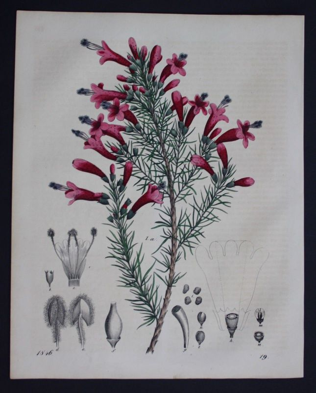 1846 - Berg-Virgularie Bergblume flower Blume Lithographie Lithograph