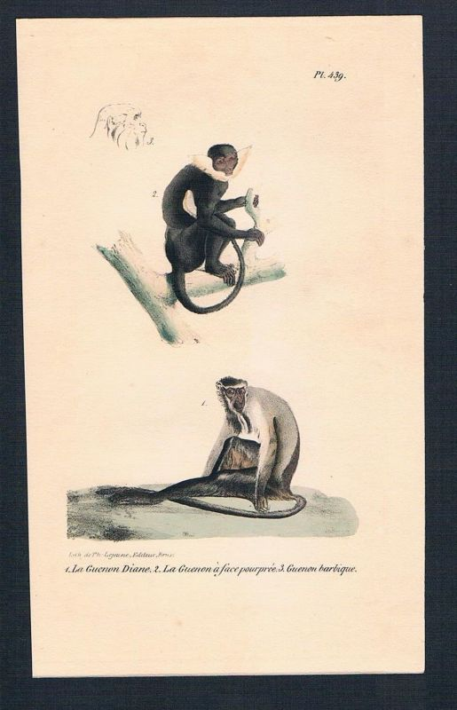 1840 - Affe Affen Gibbon Gibbons monkey monkeys Lithographie lithography