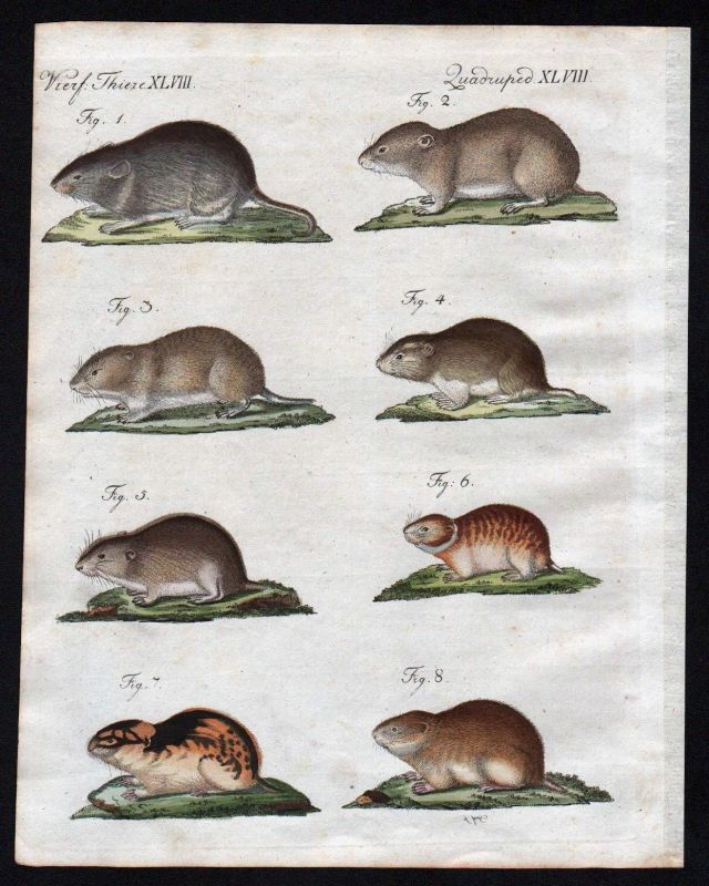 1800 - Maus Mäuse mouse mice Lemming Wurzelmaus Bertuch Kupferstich engraving