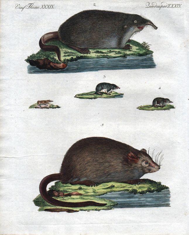 Bisamratte Ratte Spitzmaus Maus schrew muskrat mouse mice Bertuch 1800