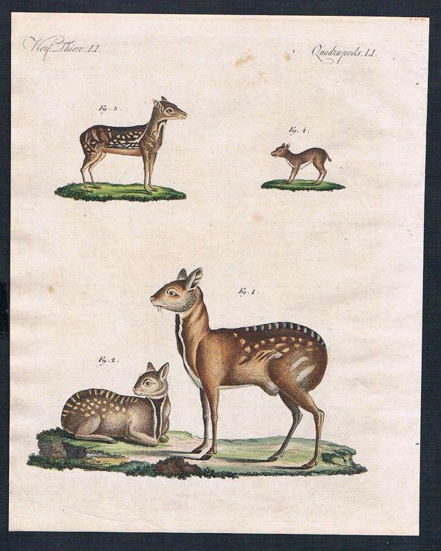1800 - Moschustiere musk deer engraving Kupferstich Bertuch