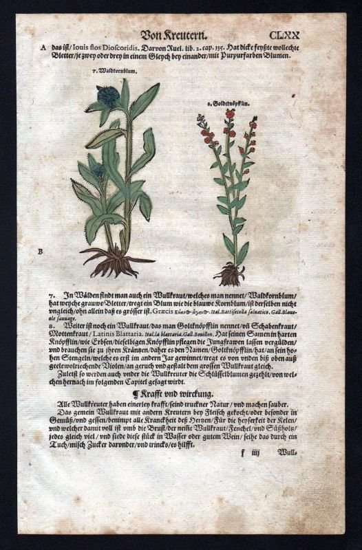 1580 - Königskerzen Goldknöpfchen herbal Kräuter Kräuterbuch Lonicer Holzschnitt