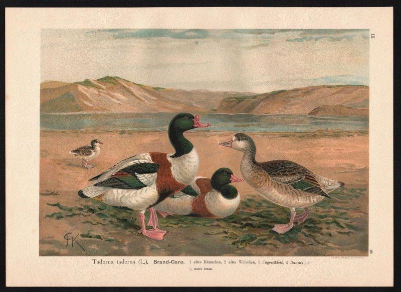 1880 - Brand-Gans Gans Gänse Common Shelduck goose Farblithographie Naumann