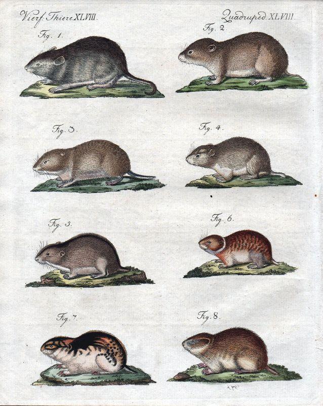 Mäuse Maus Lemming mouse mice rodent Nagetier Kupferstich Bertuch 1800