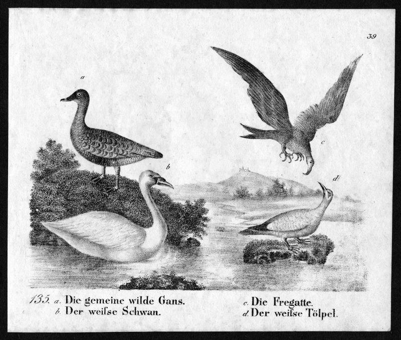 1830 - Gans Gänse Schwan Fregatte Tölpel Vögel birds Lithographie antique print