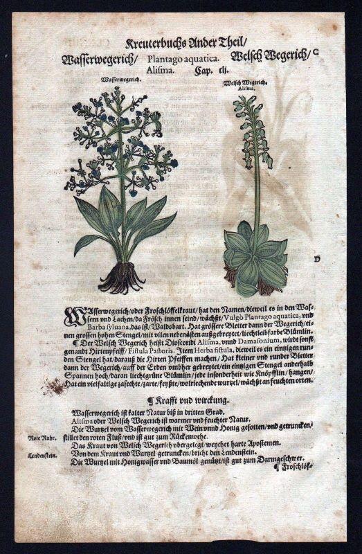 1580 - Wasserwegerich Wegerich herbal Kräuter Kräuterbuch Lonicer Holzschnitt